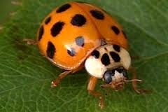 photo of an Asian Lady Beetle