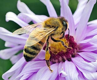 photo of a bee on a purple flower