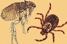 illustration of a flea and a tick