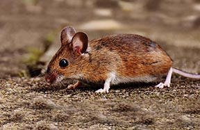 photo of a brown mouse