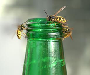 Photo of Yellow Jacket Wasps on a green bottle