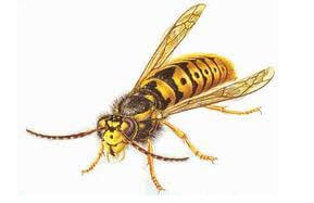 illustration of a yellow jacket wasp